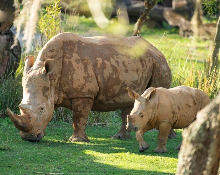 Recently born Ranger the rhino, viewable on Kilimanjaro Safaris. (David Roark, photographer)