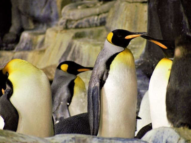 SeaWorld Orlando Pass Member Perks with penguins.