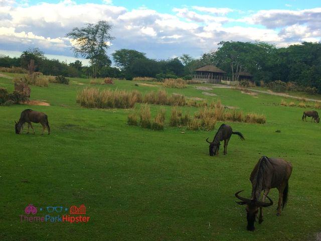 Safari overlooking grazing wilder beast at Animal Kingdom