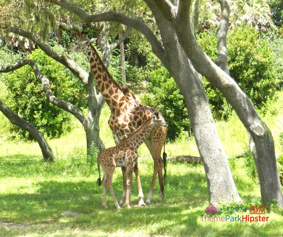 Animal Kingdom African Safari with Momma and baby giraffe