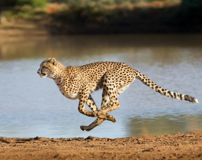 Cheetah taking off running